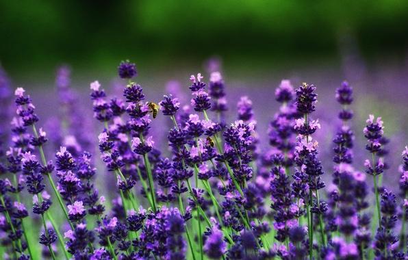 Картинка пчелы, лаванда, боке