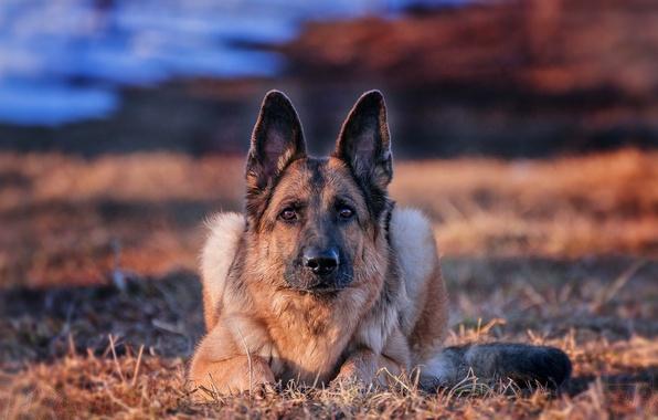 Картинка взгляд, фон, друг, собака, Немецкая овчарка