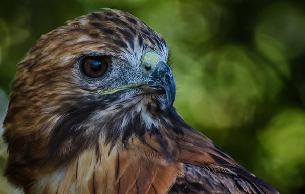 Картинка птица, перья, клюв, Сокол