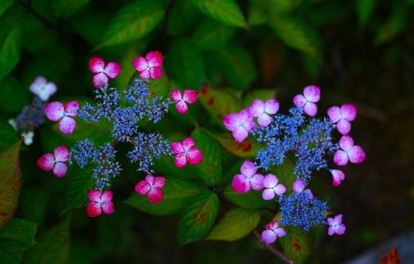 Картинка макро, цветки, соцветия, гортензия
