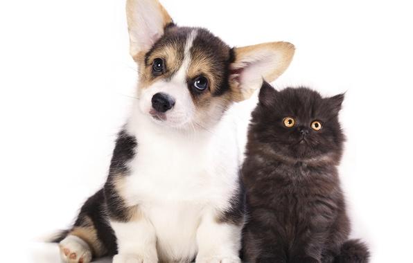 Фото обои щенок, котенок, малыши, корги