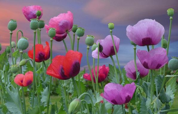 Картинка цветы, маки, красные, red, розовые, цветение, pink, flowers, poppies, blooming