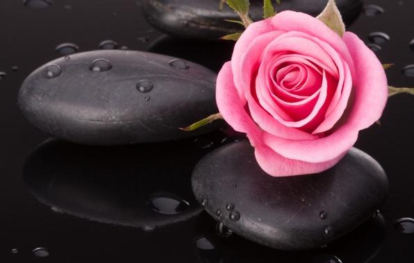 Картинка вода, капельки, камешки, розовая розочка