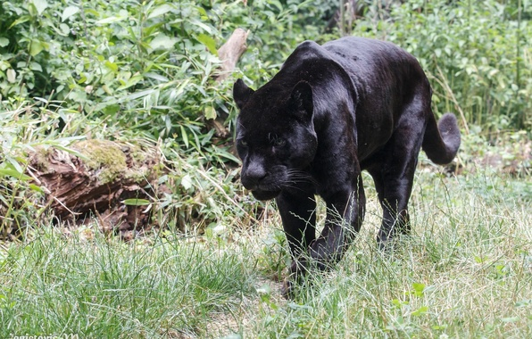Картинка хищник, пантера, дикая кошка, зоопарк, чёрный ягуар