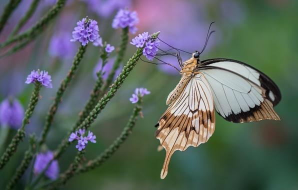 Картинка цветы, бабочка, крылья, насекомое, махаон