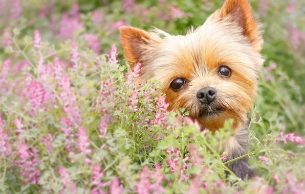 Картинка взгляд, цветы, собака, мордашка, йорк, Йоркширский терьер