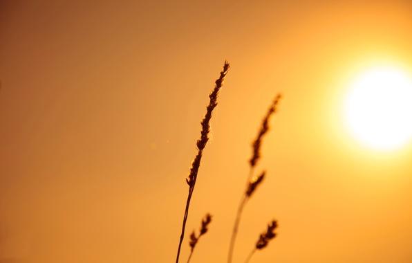 Картинка небо, солнце, свет, природа, растение, колос, стебель
