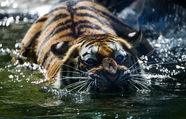 Картинка взгляд, морда, вода, тигр, хищник