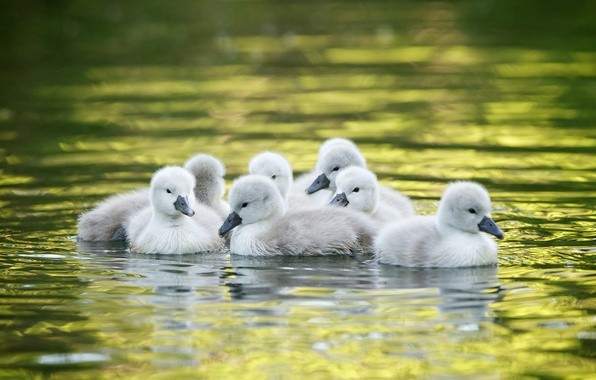 Картинка вода, малыши, лебеди, птенцы, лебедята
