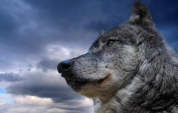 Картинка небо, животное, волк