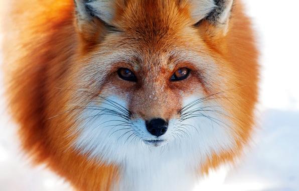 Картинка зима, снег, нос, лиса, рыжая