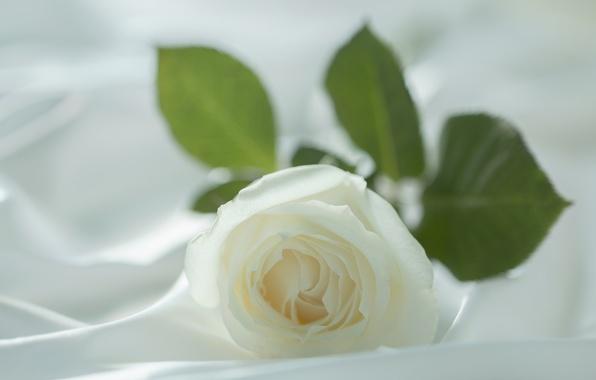 Картинка белый, цветок, макро, нежность, роза, размытие, лепестки, ткань, светлый фон