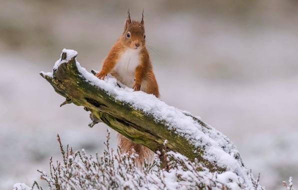 Фото обои коряга, белка, снег, рыжая, зима