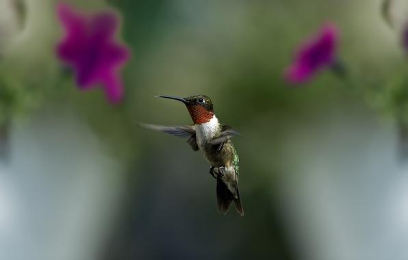 Картинка зелень, макро, полет, цветы, птица, размытость, колибри