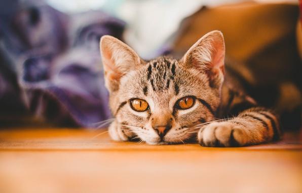 Картинка кошка, взгляд, мордочка, котёнок