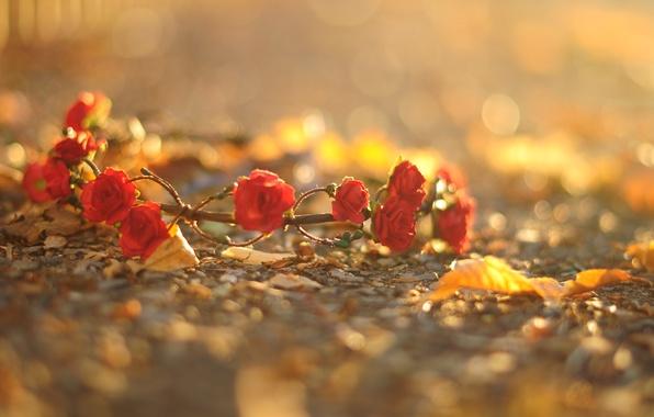 Картинка асфальт, листья, макро, цветы, красный, фон, земля, widescreen, обои, розы, wallpaper, цветочки, венок, flower, широкоформатные, …