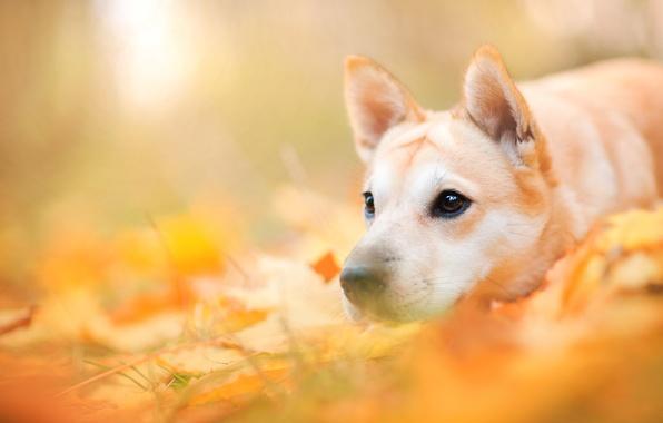 Картинка осень, морда, листья, природа, животное, собака, пёс