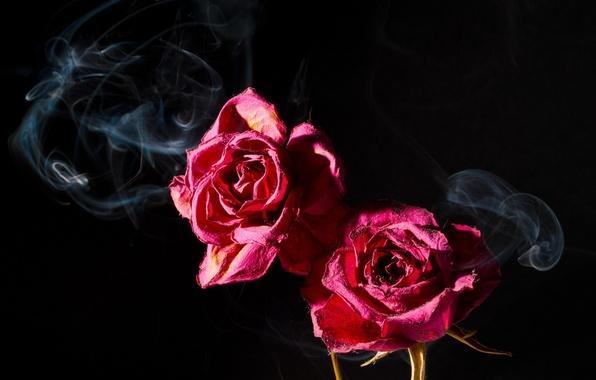 Картинка макро, темный фон, розовый, дым, две, розы