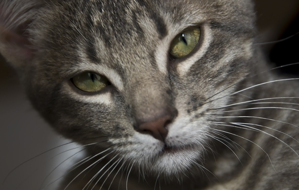 Картинка eyes, gray, fur, feline