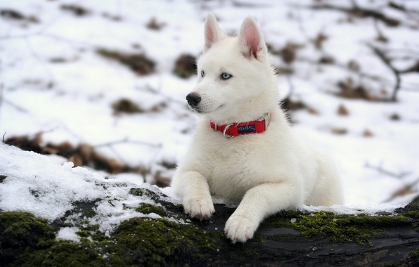 Картинка зима, собака, хаски