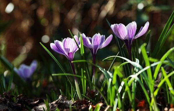Картинка трава, листья, цветы, природа, весна, фиолетовые, первоцветы, Крокусы