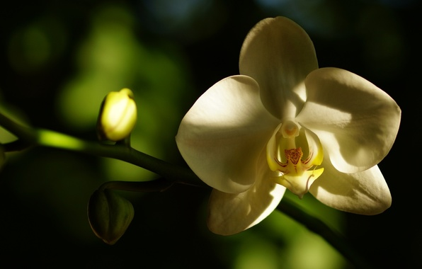 Картинка белый, цветок, макро, тень, лепестки, орхидея