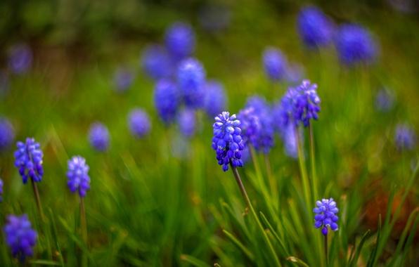 Картинка макро, цветы, размытость, синие, Мускари