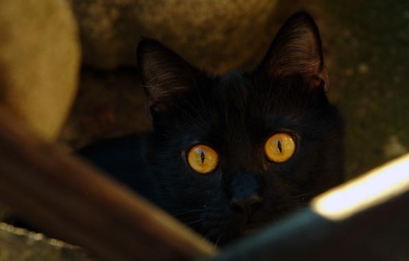 Картинка кошка, глаза, кот, черный