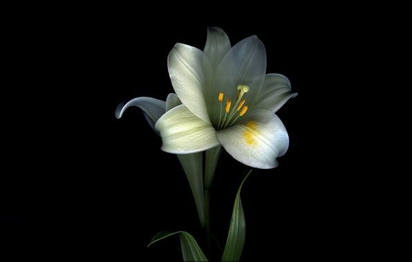 Картинка цветок, листья, свет, лилия, тень, лепестки