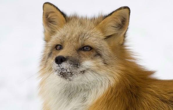 Картинка Лиса, рыжая, хитрая, лисица