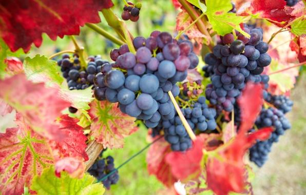 Картинка осень, листья, природа, ягоды, урожай, виноград, красные, грозди, бордовые