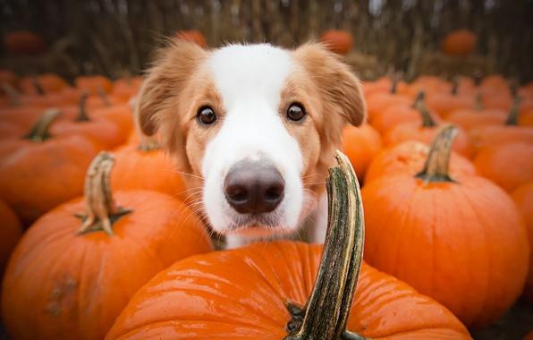 Картинка друг, собака, тыквы