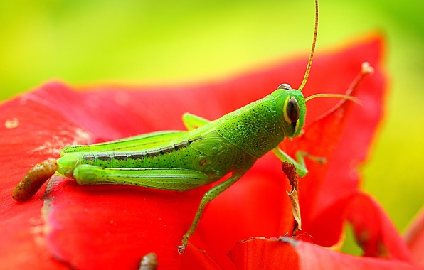 Картинка green, red, exoskeleton, flower, nature, eyes, wings, animal, leaf, wildlife, insect, paws, hana, grasshopper, Konoha, …