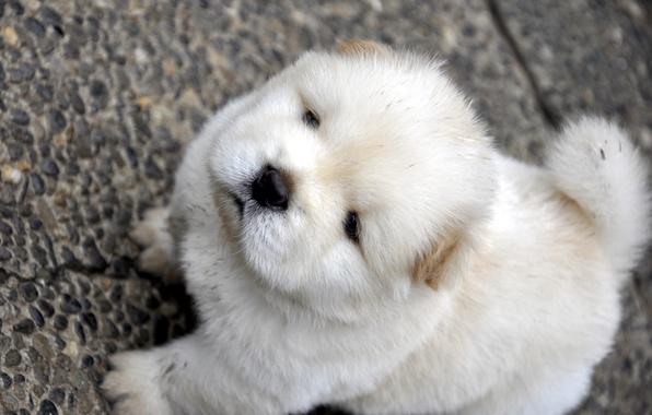 Картинка белый, мордочка, смотрит, пёсик, чау чау, Chow Chow