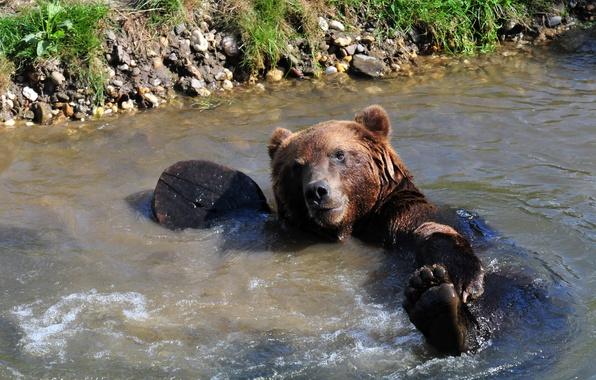 Картинка мокрый, лапа, медведь, купание, мишка, водоём