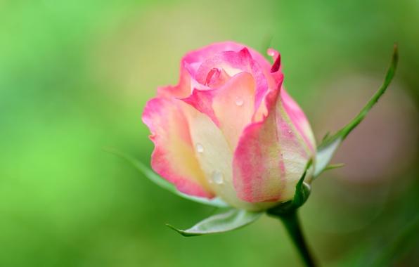 Картинка капли, макро, роса, роза, лепестки, стебель, бутон