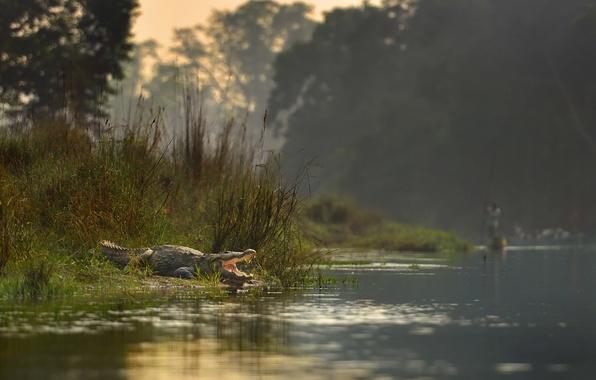 Картинка река, крокодил, Непал, Национальный парк Читван