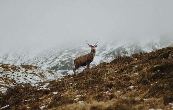 Картинка grass, horns, winter, snow, fog, hill, deer, mist, red deer