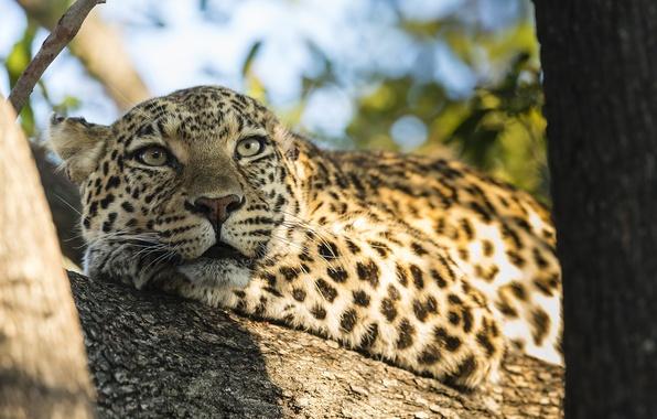 Картинка природа, дерево, животное, хищник, леопард, ствол