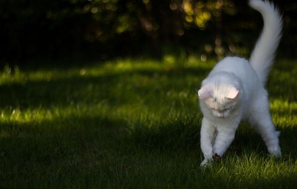 Картинка белый, трава, кот, игра, кошак