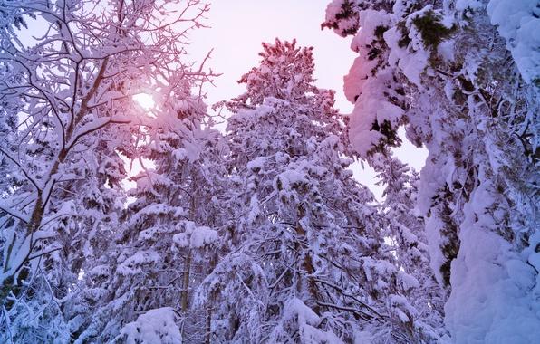 Картинка зима, лес, солнце, свет, снег, деревья, елки, ели, light, сосны, winter, snow, tree, sun, pine