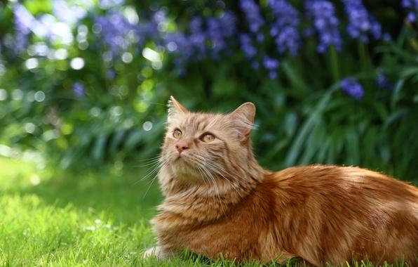 Картинка кошка, трава, кот, цветы, пушистый, сад, рыжий