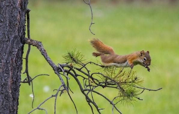 Картинка ветки, фон, дерево, прыжок, белка, рыжая, полёт, сосна, белка в полёте