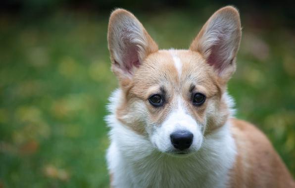 Картинка взгляд, морда, фон, собака, уши, Вельш-корги