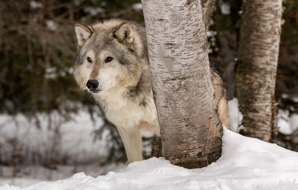 Картинка зима, снег, деревья, волк, хищник, санитар леса, Тундровый волк