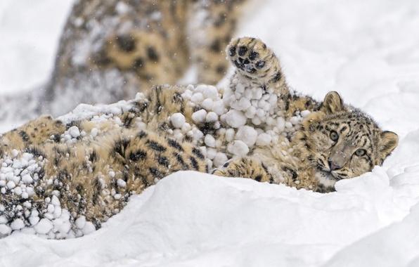 Картинка зима, морда, снег, игра, лапа, хищник, пятна, лежит, мех, ирбис, снежный барс, детёныш, дикая кошка, ...