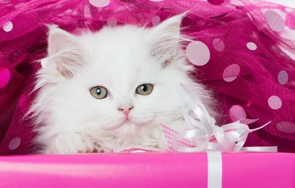 Картинка белый, взгляд, мордочка, котёнок, тюль1