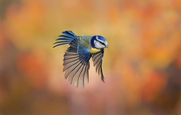 Картинка фон, птица, полёт, розмытость, синица