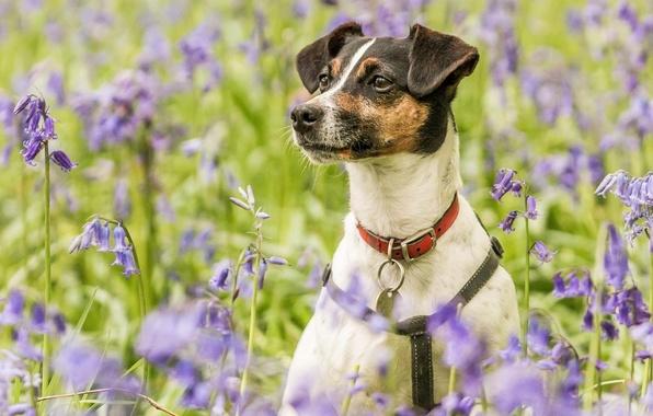 Картинка цветы, портрет, собака, луг, ошейник, колокольчики