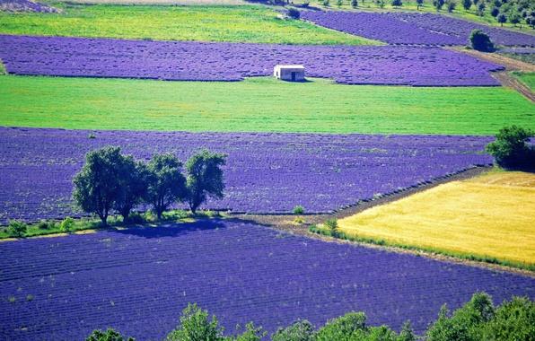 Картинка поле, деревья, цветы, лаванда, плантация